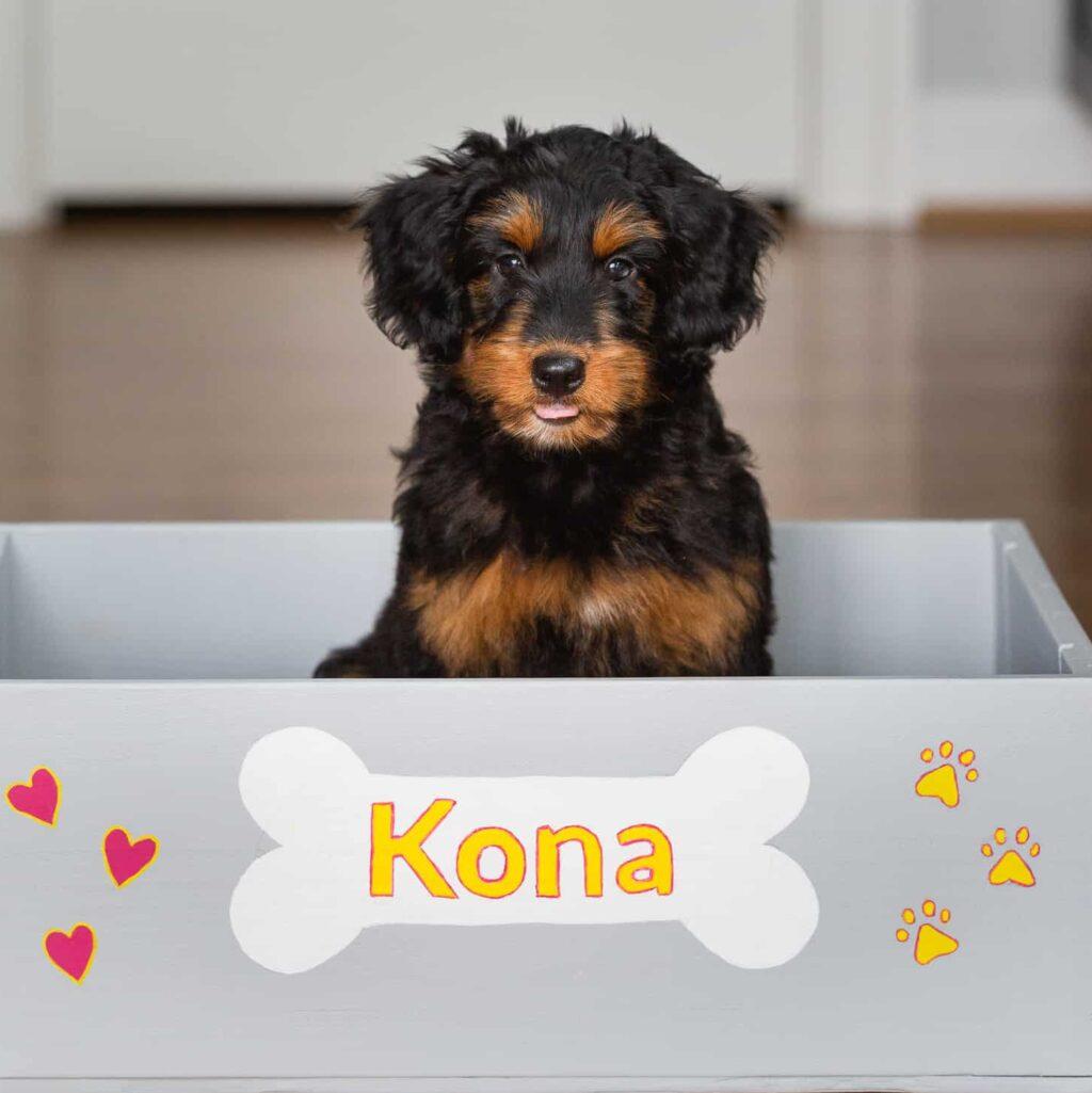 My Aussiedoodle Puppy Kona